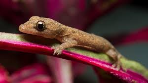 gecko geckos have adapted to habitats from rain forests to deserts to cold mountain slopes