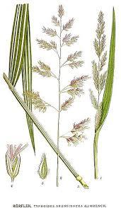 Файл:473 Typhoides arundinacea.jpg — Википедия
