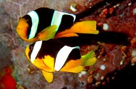 Cara Budidaya Ikan Nemo Air Tawar