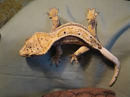 there are many housing options available to you and your crested gecko depending upon many factors such as the age size of your gecko s as well as your