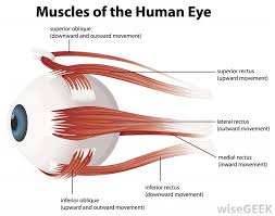 what is the lateral rectus pictures the lateral rectus muscle is a straight muscle which runs laterally along the outside of the eye