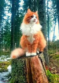 fluffy white and orange cats. Plain Cats Orange And White Tabby Cat Fluffy Light  Brown With Blue Eyes Silver In Cats A