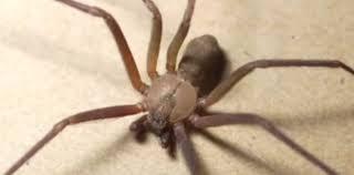 Morso da un ragno violino in ospedale, muore dopo tre infezioni. La  famiglia: