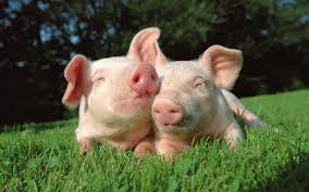Cute Pig Wallpaper - 1920x1200 ...