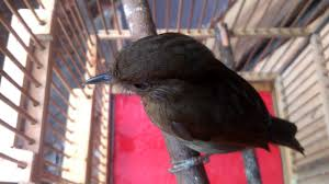 Burung ini menjadi salah satu burung kebanggaan para kicaumania karena kemampuannya dalam berkicau. Burung Flamboyan Dengan Suara Khas Nya Youtube