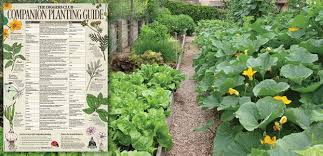 Vegetable Companion Planting Charts Diggers Companion Planting Chart The Diggers Club