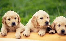 cute puppy wallpapers hd android s on google play