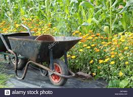 Plants For Kitchen Garden Wheelbarrows In An Organic Walled Kitchen Garden By Sweetcorn And