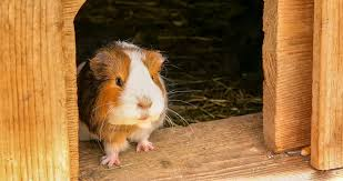 the 5 best guinea pig beddings see