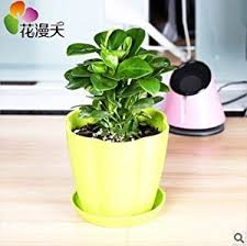 small plant for office desk. office desk flowers small potted plants bonsai radiation plant for