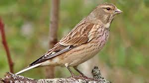 Linnet Bird Close Up in My Garden - YouTube