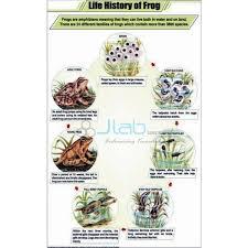 Life History Of Frog Chart India Life History Of Frog Chart