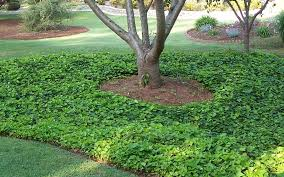 Image result for english ivy vines