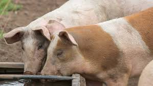Pig Feeding Chart By Age Pdf 4 Step Guide To Pig Feeding And Rations Farmers Weekly