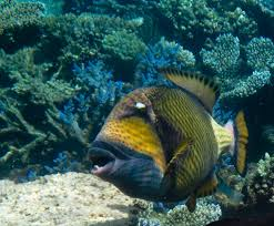 triggerfish bite. Exellent Triggerfish My What Large Teeth You Have Throughout Triggerfish Bite I