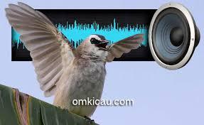 You can choose the suara burung trucukan pikat offline apk version that suits your phone, tablet, tv. Tiga Cara Agar Burung Trucukan Cepat Ngeropel Om Kicau