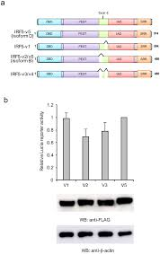 irf5 variants activate ifn reporter a a schematic of diffe irf5 isoforms