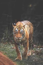 Best 4k Tiger Wallpaper iPhone Free ...