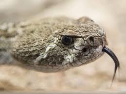 rattlesnake head. Delighful Head Texas Man Bitten By Severed Rattlesnake Head Almost Dies In Rattlesnake Head Ottawa Citizen