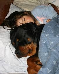 baby rottweiler. Unique Rottweiler Rottweiler Sleeping Intended Baby Rottweiler A