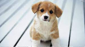 Puppy PC Wallpapers on WallpaperDog