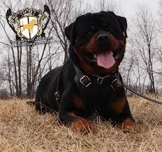 german rottweiler dog. 23mocho_warrick30 23mocho_warrick01 23mocho_warrick32 23mocho_warrick09 german rottweiler dog