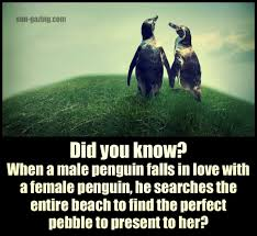 When A Male Penguin Falls In Love He Searches The Entire Beach To