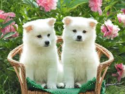 cute white puppies wallpaper.  White Twin White Puppies Desktop Wallpaper With Cute W