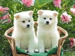 twin white puppies desktop wallpaper