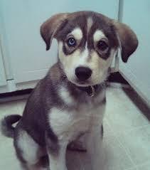 husky black lab mix puppy. Beautiful Mix Siberian Retriever Mix In Husky Black Lab Puppy R
