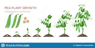 Pea Design Pea Plant Growth Stages Infographic Elements In Flat Design