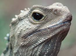 Small Picture 56 best Tuatara Reference Photos images on Pinterest Lizards
