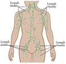 33 Rigorous Lymph Node In Body
