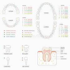 Tooth Chart For Losing Teeth Tooth Chart Human Teeth Stock Illustrations 242 Tooth