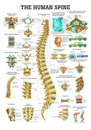 Vertebrae Number Chart The Human Spine Laminated Anatomy Chart