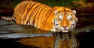 Image result for image of a tiger in water