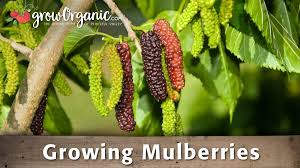Fruitless Mulberry TreeNon Fruiting Mulberry Tree