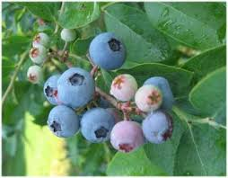 Image result for blueberry farm