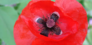 in general poppy plants are so distasteful that all s including domestic pets avoid them after a sniff or a brief taste