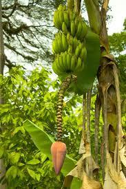 Muntingia Calabura Strawberry Tree Jam Tree Jamaican Jamaican Fruit Trees
