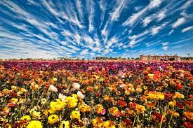 those dates can vary due to weather so make sure to contact the flower fields before your visit to ensure you re planning your tour during the height of