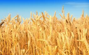 Мінсільгосп РФ визнав, що урожай зернових в окупованому Криму знизився удвічі. Компенсувати збитки будуть за рахунок російського бюджету - Цензор.НЕТ 6926