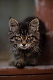 downaload cute feline kitten stare wallpaper 320x480 samsung galaxy ace gt