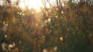 dry grass field background. Warm Summer Sun Light Shining Through Wild Grass Field. Close Up Of Field Flowers Dry Background