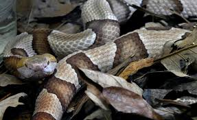 Poisonous Venomous Snakes In North Carolina With Photos