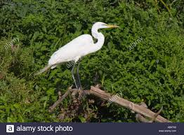 Profile Portrait White Great Egret, Background Greenery Ardea alba Stock  Photo - Alamy