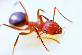 close up of house ant in how to get rid of ants