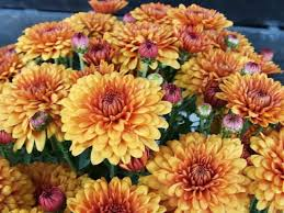 golden orange chrysanthemum flowers