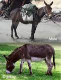 Image result for donkey and a mule