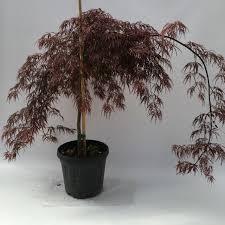 Crescere in casa una pianta è sempre una festa. Acer Palmatum Acero Giapponese Vivai Frappetta Roma